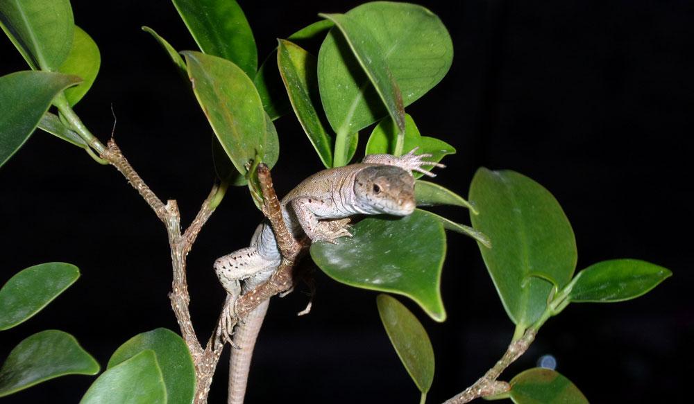 «Roki la lagartija», la nueva mascota de mi hija